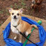 Cheeky Chihuahua Dog Behaviourism profile image.